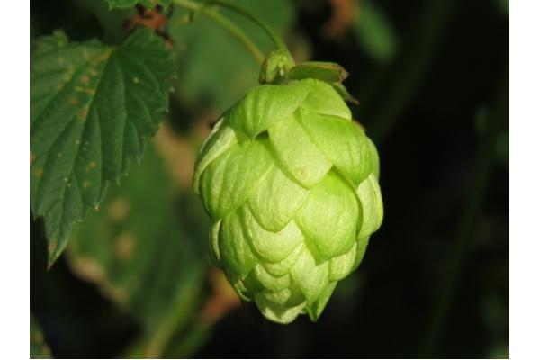Podívejte se, jaká je v tuzemsku spotřeba piva